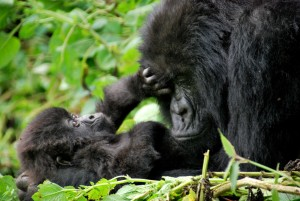 Genome sequencing mountain gorillas reveals the genetic impact of inbreeding