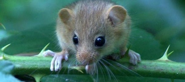 636018713662576931-1002177545_Researchers-declare-first-mammal-extinction-due-to-climate-change-648x330[1]
