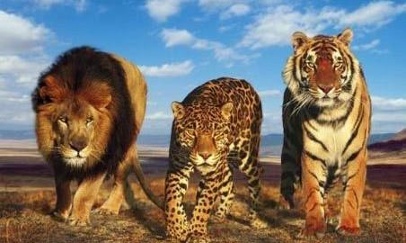 Big-Cats-big-cats-lions-tigers-leopards[1]
